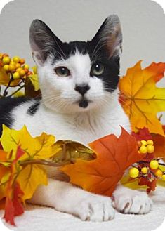 Domestic Shorthair Kitten for adoption in Dublin, California - Bandit