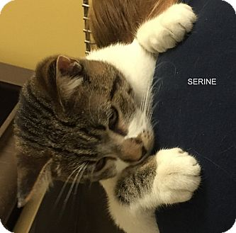 Domestic Shorthair Cat for adoption in Hibbing, Minnesota - SERINE