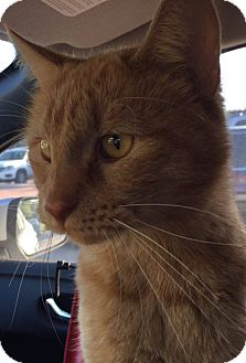 Domestic Shorthair Cat for adoption in Mansfield, Texas - Wilbur
