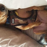Chihuahua Mix Dog for adoption in Brooklyn, New York - Timmy