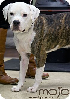 Boxer/Pit Bull Terrier Mix Dog for adoption in Newport, Kentucky - Mojo