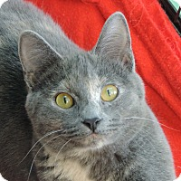 Domestic Shorthair Cat for adoption in Brookings, South Dakota - Linnea