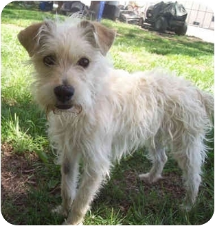 Fox Terrier (Wirehaired)/Terrier (Unknown Type, Small) Mix Dog for ...