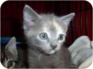 Colorpoint Shorthair Kitten for adoption in Frenchtown, New Jersey - Maggie