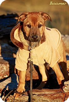 Shepherd (Unknown Type) Mix Puppy for adoption in Wilmington, Delaware - Boomer