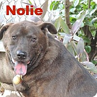 Labrador Retriever/Chow Chow Mix Dog for adoption in Houston, Texas - Nolie