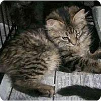 Adopt A Pet :: Kacy - Reston, VA