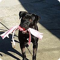 Adopt A Pet :: Angus - Sunnyvale, CA
