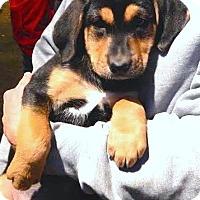 Adopt A Pet :: *Nabeela - PENDING - Westport, CT