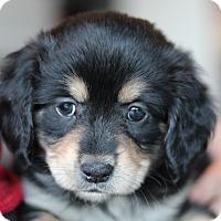 Adopt A Pet :: Cassie's Pup- Twizzler - Romeoville, IL