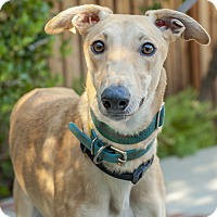 Adopt A Pet :: Steel - Walnut Creek, CA