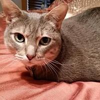 Domestic Shorthair Cat for adoption in Dallas, Texas - Newman