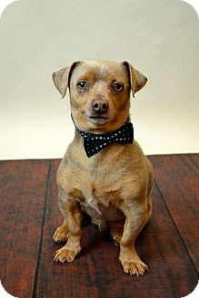 Pug/Dachshund Mix Dog for adoption in McKinney, Texas - Abner