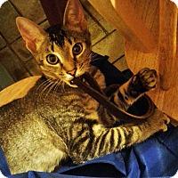 Adopt A Pet :: Captain - N. Billerica, MA