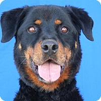 Rottweiler Mix Dog for adoption in Pagosa Springs, Colorado - Atka