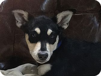 Shepherd (Unknown Type) Mix Puppy for adoption in Hainesville, Illinois - Sienna