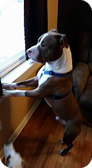 American Pit Bull Terrier Mix Dog for adoption in Commerce Township, Michigan - Timber