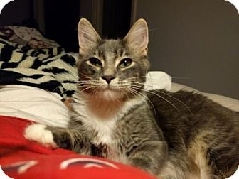 Domestic Mediumhair Kitten for adoption in Dallas, Texas - Mouse