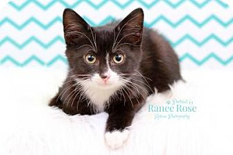 Domestic Mediumhair Kitten for adoption in Sterling Heights, Michigan - Jager
