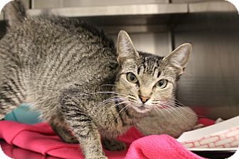 Domestic Shorthair Cat for adoption in Sarasota, Florida - Minnie