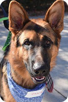 German Shepherd Dog Dog for adoption in Greensboro, North Carolina - Oakley