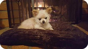 Pomeranian Dog for adoption in El Cajon, California - Triscuit