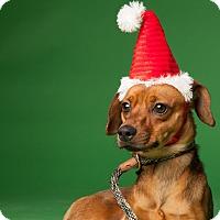Adopt A Pet :: Kazo - Dallas, TX