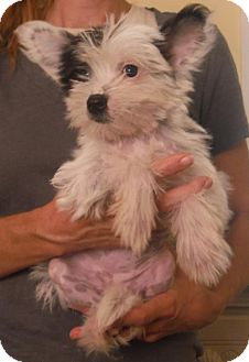 Chinese Crested/Chinese Crested Mix Puppy for adoption in Manchester, New Hampshire - Prissy