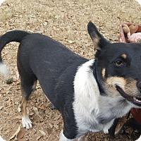Adopt A Pet :: Jessie - Snyder, TX