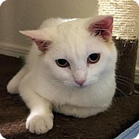 Adopt A Pet :: Storm - Chandler, AZ