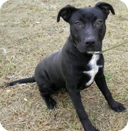 Labrador Retriever/Terrier (Unknown Type, Medium) Mix Dog for adoption in Lincolnton, North Carolina - Sealy