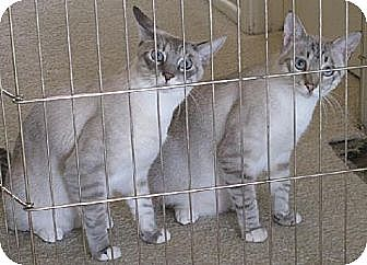 Siamese Cat for adoption in Lakewood, California - Ben & Jerry