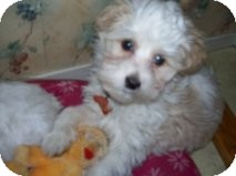 Chinese Crested Puppy for adoption in Elkhart, Indiana - Mugsy