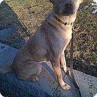 Adopt A Pet :: Foxy - Bardonia, NY