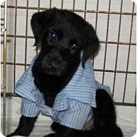 Labrador Retriever Mix Puppy for adoption in Sparta, New Jersey - FOSTERS NEEDED