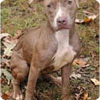 Adopt A Pet :: Copper - Chicago, IL