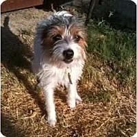 Adopt A Pet :: Mitzi - Arlington, TX
