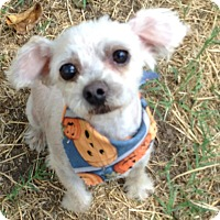 Adopt A Pet :: Muffin - Las Vegas, NV