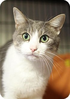 Domestic Shorthair Cat for adoption in Winston-Salem, North Carolina - Thomas