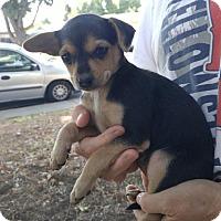 Adopt A Pet :: Maria - Lodi, CA