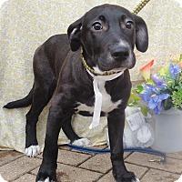 Adopt A Pet :: Hashtag - West Chicago, IL