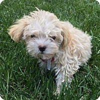 Adopt A Pet :: Harriet - Fairview Heights, IL