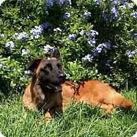 Adopt A Pet :: PENNY~BELGIAN SHEPHERD/BASSETT MIX 1 YR OLD - Seminole, FL
