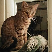 Domestic Shorthair Cat for adoption in Cocoa, Florida - Teddy