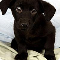 Adopt A Pet :: Rambo Lab Mix - St. Louis, MO