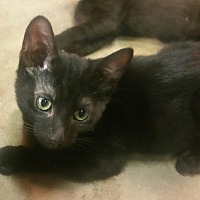 Domestic Shorthair Kitten for adoption in Yorba Linda, California - Ebony