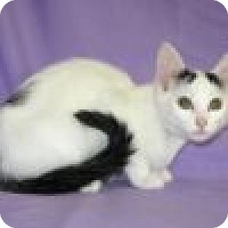 Domestic Shorthair Cat for adoption in Powell, Ohio - Eloise