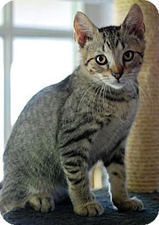 Domestic Shorthair Kitten for adoption in San Carlos, California - Ted