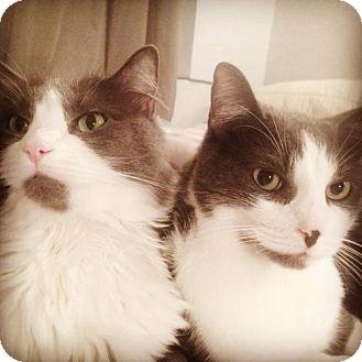 Domestic Mediumhair Cat for adoption in Brooklyn, New York - Fluffy Billie and her Buddy Benny!