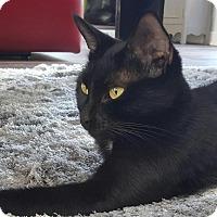 Domestic Shorthair Cat for adoption in Winston-Salem, North Carolina - Violet
